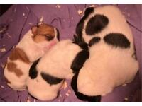 Wire Hair Jack Russell Puppies