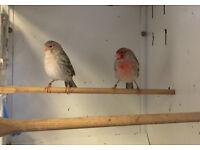 Canarys birds