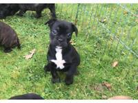 Beautiful frenchie X pups