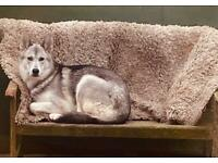German shepherd cross malamute husky puppies