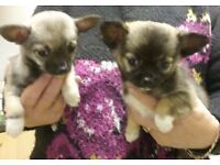 2 x female Chihuahua puppies for sale