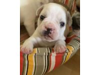 Puppies (french bulldog )for sale