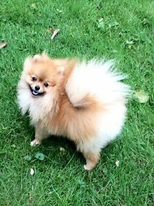 Pomeranian puppies ( mini) Sold out already.