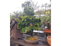 Lovely Hinoki Multi Trunk Bonsai Tree
