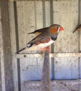 Zebra Finches Burpengary Caboolture Area Preview