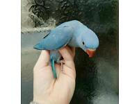 Baby indian ringneck parrot