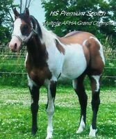 apha grand champion stallion at stud