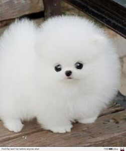 PLEASE HELP ME FIND MY NEW BABY teacup pomeranian