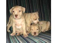 Beautiful bully puppies males and females American bulldog