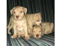 Beautiful bully puppies females available American bulldog