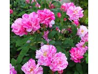 Garden rose striped pink/white flowers (rosa mundi) old rose strong healthy vigorous plant Horsell