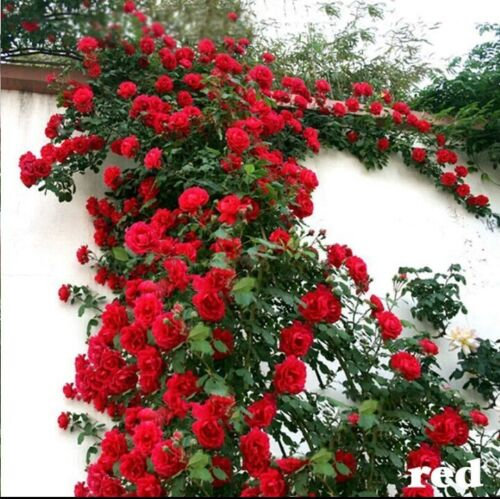 Red-Climbing-Rose-Hybrid-seeds-High-quality-Fast-Growth-Imported-7-Seeds