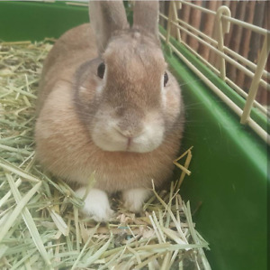 Female brown 3yr old bunny for sale!