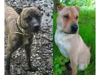 Sharpei/Staffordshire Bull Terrier, Irish Type, Chunky, Bully and Brindle