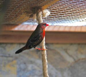 Bengali Rouge/Strawberry Finch