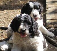 Golden-Doodle Parti Puppies