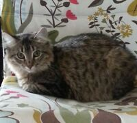 FREE Gorgeous SPAYED, healthy Tabby Girl  8 months old