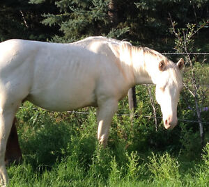 Herd reduction! Selling APHA and AQHA Strathcona County Edmonton Area image 3