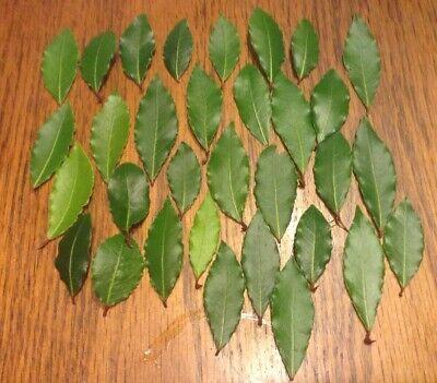Organic Bay Leaves Leaf, Laurus Nobilis Laurel, Fresh Picked, 32 Bay leaves new