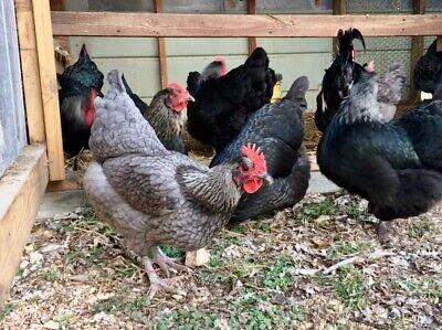 6 Blackblue Silver Marans Hatching Eggs