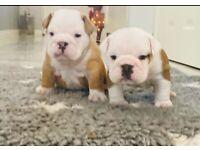 ❤️2 KC English bulldog girls available ❤️