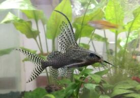 FEATHERFIN CAT FISH £ 15 , SIZE 4 inch .
