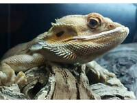 Bearded dragon. Tank and accessories