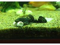 Baby Bristlenose PLECOs Gold Tipped X