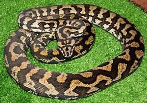 Jungle Carpet Python Adult female Howard Springs Litchfield Area Preview
