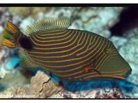 Undulatus triggerfish