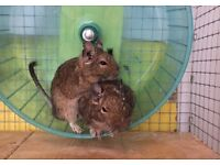 2 female Degus with John Hopewell cage and accessories - £110 ono