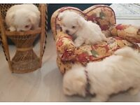 Pure bred Maltese puppies for sale - 2 male at £1000 each, 1 female at £1200