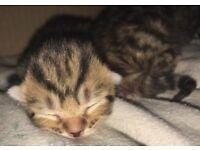 8 week old female kittens 😍