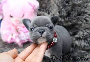 French Bulldog puppies, Blue Frenchies! Penrith Penrith Area Preview