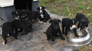Kelpie/Collie Pups for sale Stanhope Singleton Area Preview