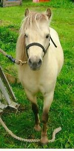 Silver Buckskin Miniature Horse Stallion for Sale