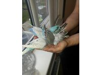 Budgies@@tamed