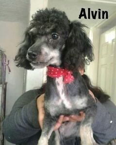 Quiet,Poodle/terrier  - 1.5 yr old rescue is ready for adoption.