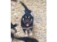 German Shepherd cross Malamute Puppies Ready Now