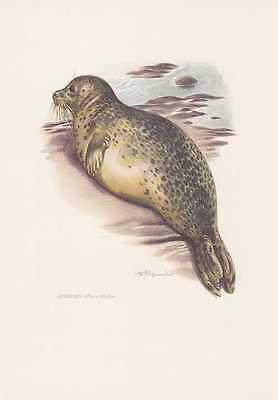 Seehund Phoca vitulina Farbdruck von 1959 Robben Seehunde Zoologie