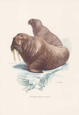 Walross Odobenus rosmarus Farbdruck von 1959 Robben Zoologie