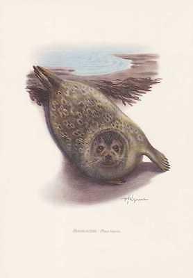 Ringelrobbe Pusa hispida Farbdruck von 1959 Robben Seehunde Zoologie