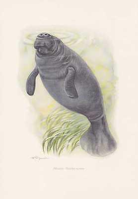 Manati Trichechus manatus Farbdruck von 1959 Rundschwanzseekühe Karibik-Manati