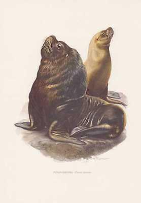 Mähnenrobbe Otaria flavescens Seelöwe Farbdruck von 1959 Robben Zoologie