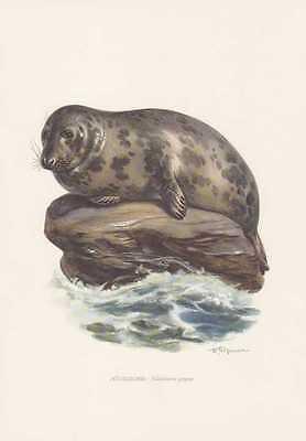 Kegelrobbe Halichoerus grypus Farbdruck von 1959 Robben Seehunde Zoologie