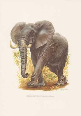 Afrikanischer Elefant Loxodonta africana Farbdruck von 1959