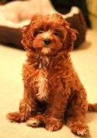 WANTED: A poodle mix to join our family
