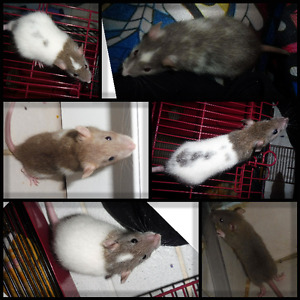 Friendly Baby Male Rats - Born May 30th