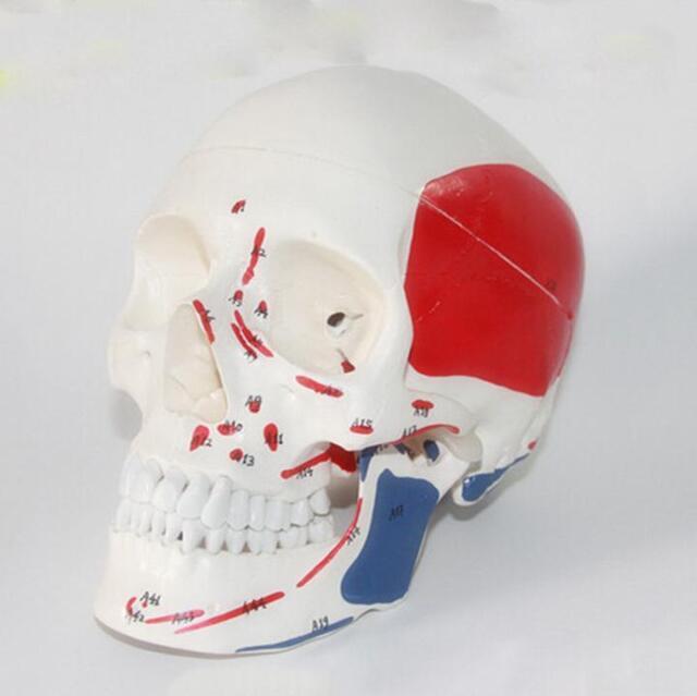 Life Size Human Anatomical Anatomy Head Skull Skeleton Medical Model Colorful &
