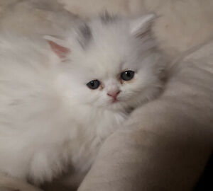 Gorgeous, Purebred Persian Kittens
